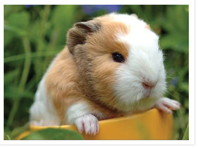 guinea_pig_answer_2_xlarge