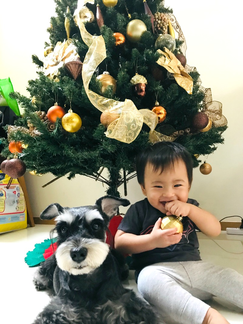 Little Ari today. This picture was taken on Christmas Eve 2018. He was 11 months and two weeks at the time. (On the left is Miyuki, our faithful Miniature Schnauzer, also a part of our family).