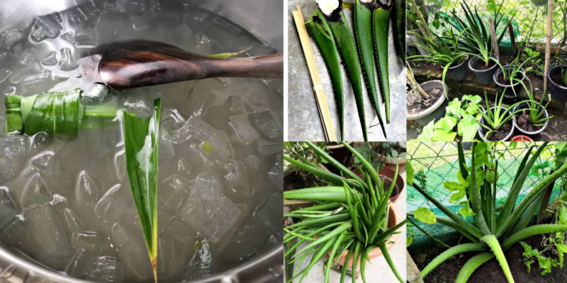 Yati's aloe vera concoctions are harvested from her own garden. On the extreme right bottom picture, is the Giant Aloe Vera where the leaves grow to at least 61cm in length. This recipe is using one of its leaves.