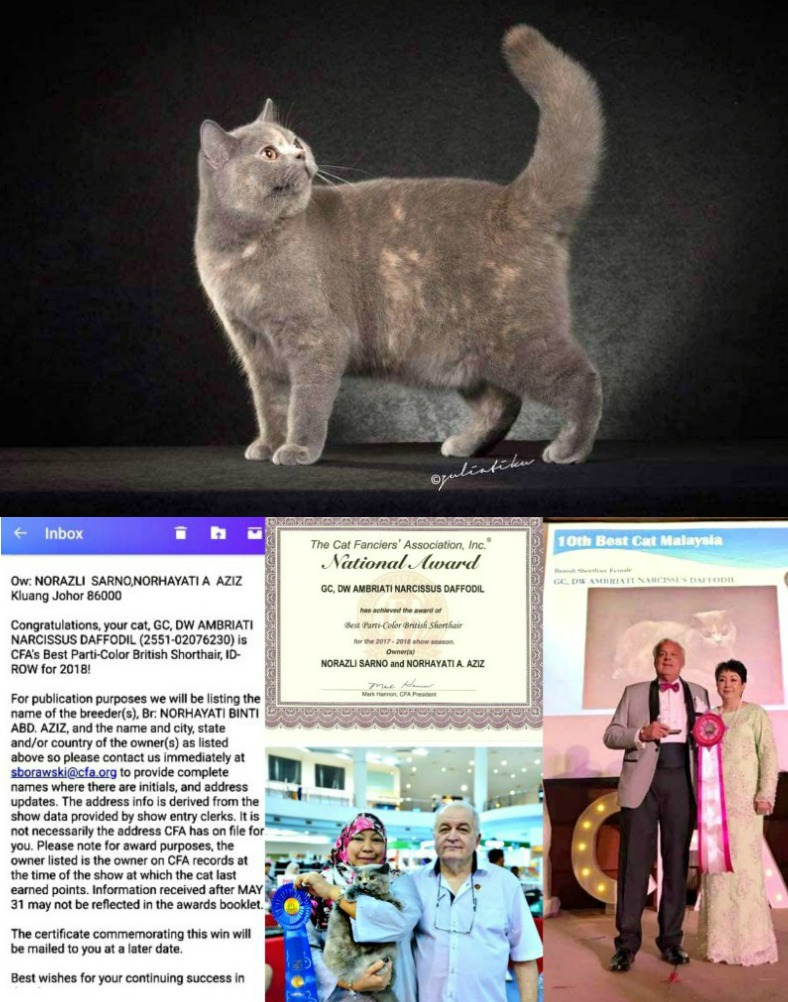 Clockwise: The Grand Champion Ambriati Narcissus Daffodil, parti-colour British Shorthair; Nancy F Jipanis (friend and fellow competitor) receiving the award on behalf of Norhayati; cat, Norhayati, ribbon and judge; certificate and official congratulatory message.