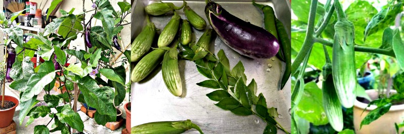 Yati grows two types of brinjals in her garden as you can see ─ the usual purple brinjal and the Terung Telunjuk or Yellow Eggplant. The chillies and curry leaves also come from her garden.