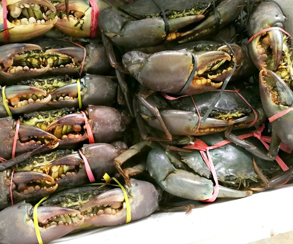 Familiar sight? Of course. This is Malaysia's highly popular Mud Crab. This specie of crustacean has been gracing our dinner tables since time immemorial and is now a whole new industry that breeds, farms, supplies and exports in a big way. (Image Credit: Live Mud Crab, Puchong New Village, Selangor)