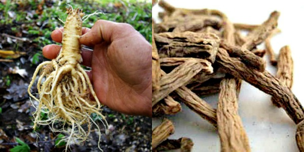 Dang Shen as a fresh root and dried. More Confinement Drinks: Turn Up the Heat with Dang Shen Tea & Bee Teh